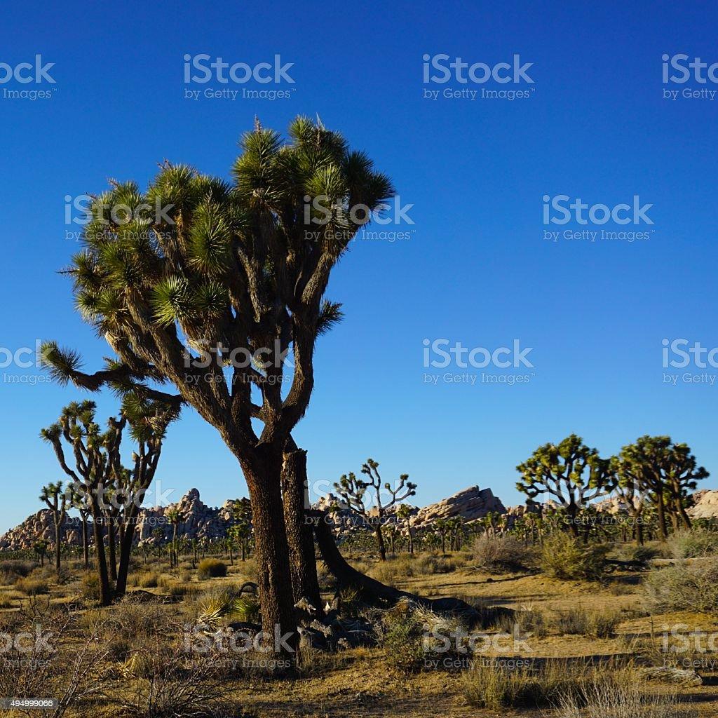 Joshua Trees stock photo