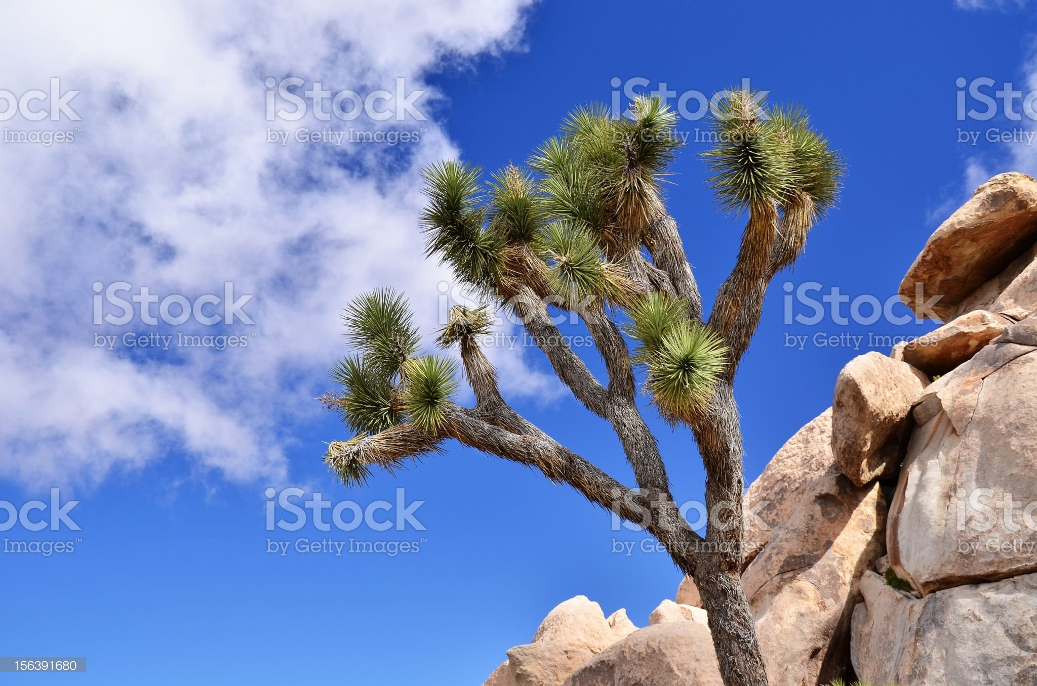 Joshue Tree and rocks in the desert, detail royalty-free stock photo