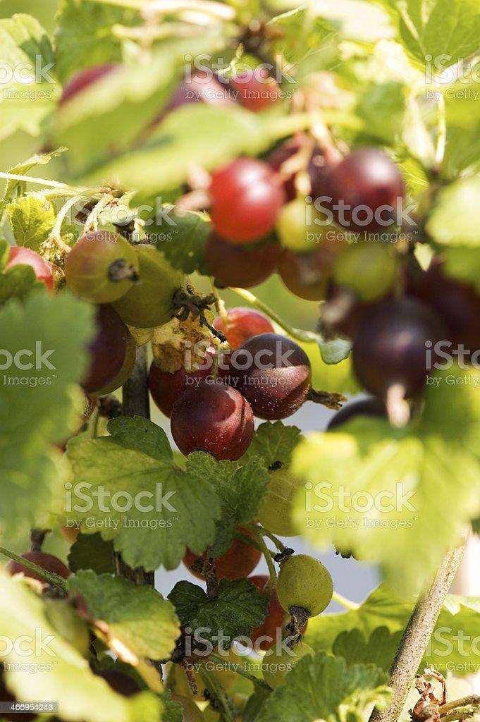 Jostaberries royalty-free stock photo