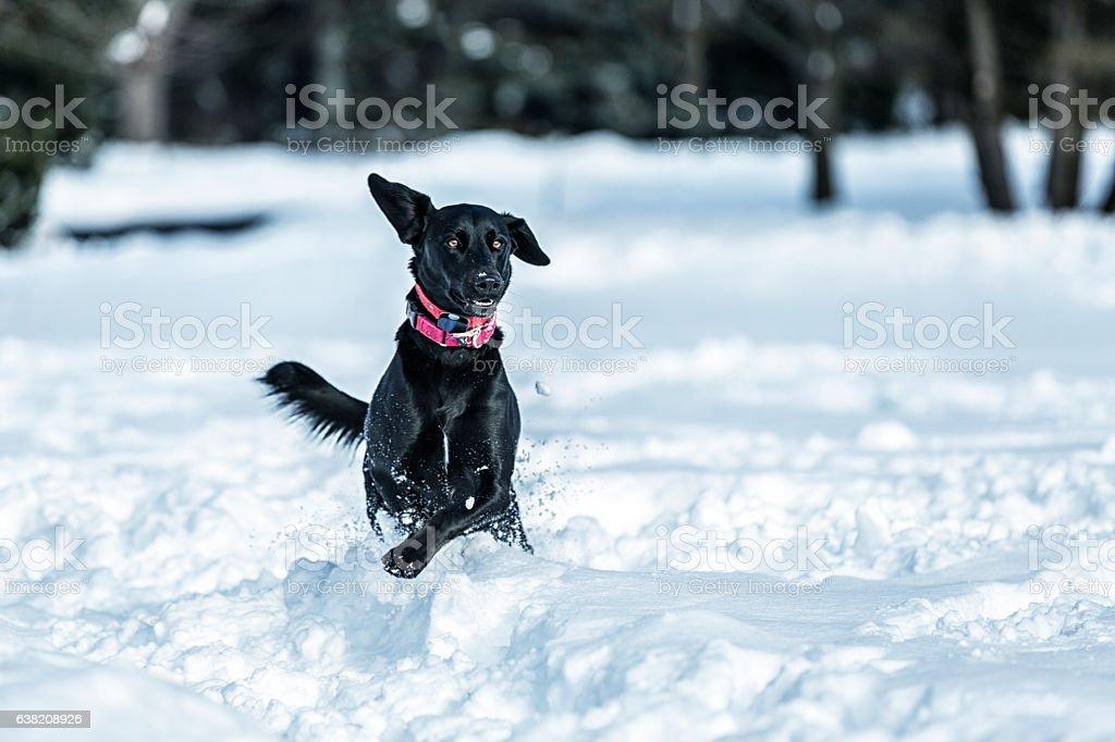 Joyful Black Labrador Dog Splashing Through Deep Front Yard Snow stock photo