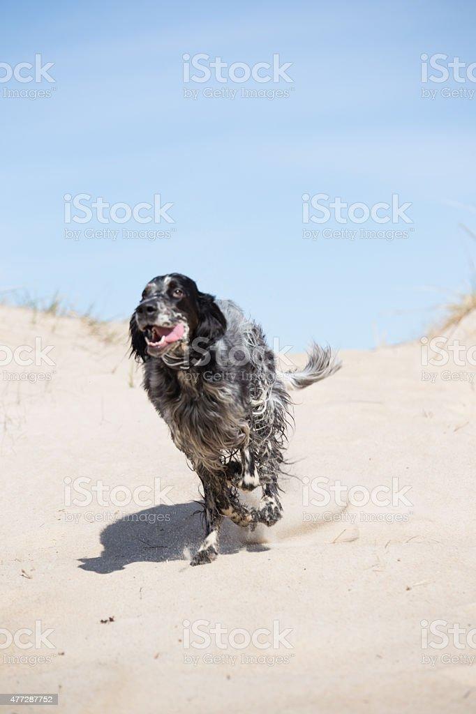 Joyful dog running on the beach stock photo