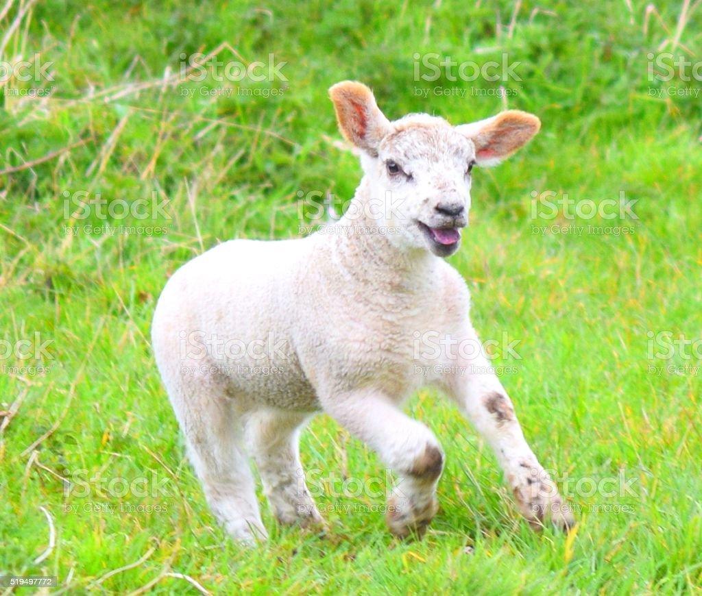 joyful galloping lamb sheep livestock farm animal stock photo