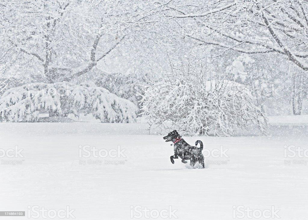 Joyful Jumping Blizzard Dog stock photo