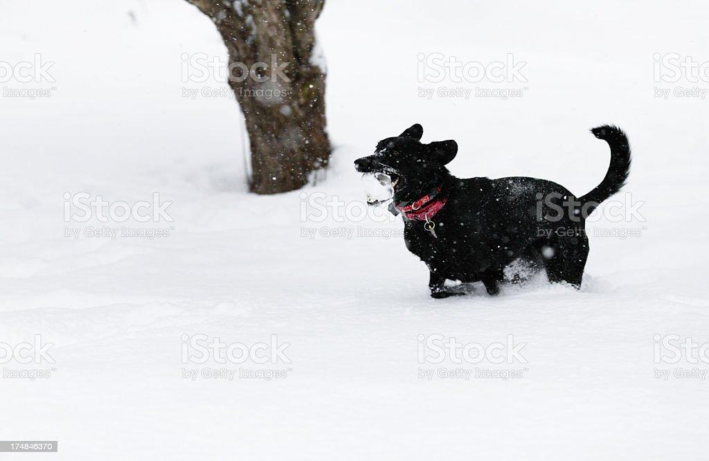 Joyous Dog Running With Ice Chunk stock photo