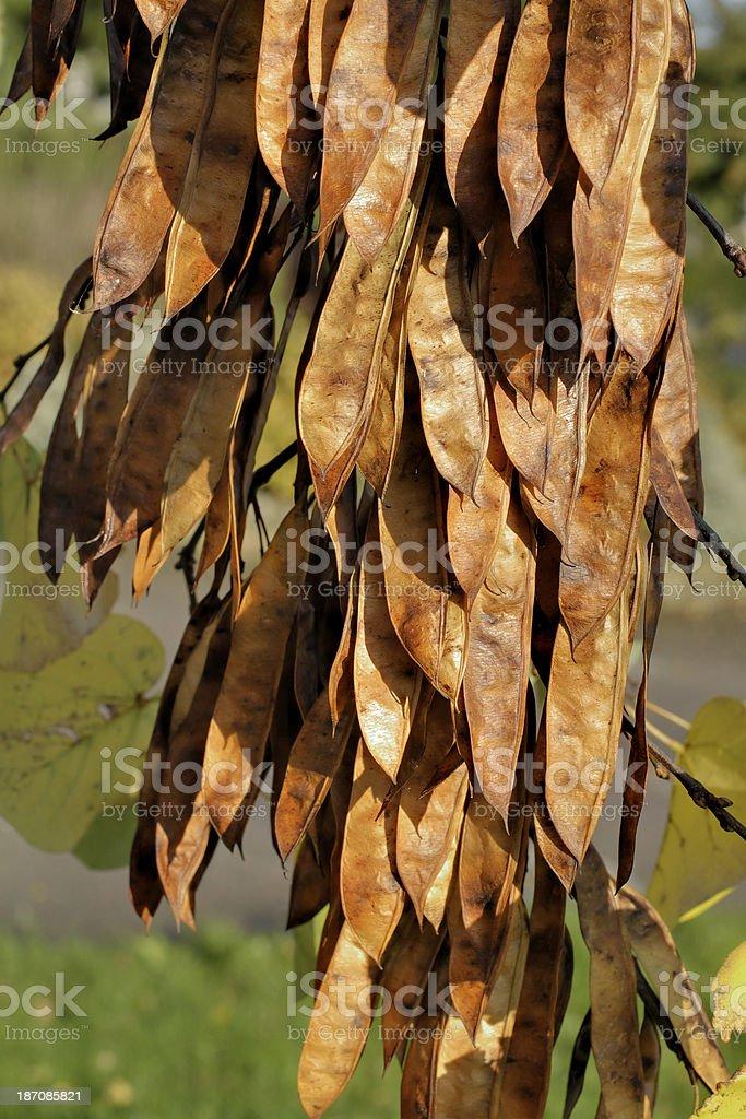 Judas tree Cercis siliquastrum brown autumn seed pods stock photo