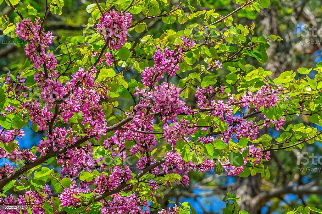 Judas tree in spring stock photo
