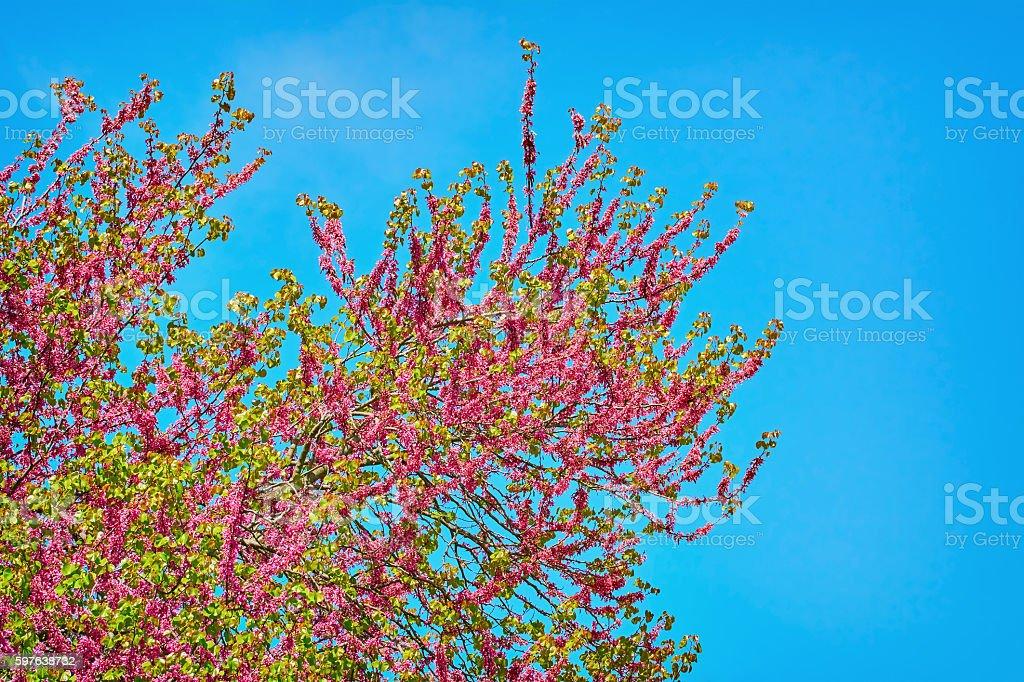 Judas Tree (Cercis Siliquastrum) stock photo