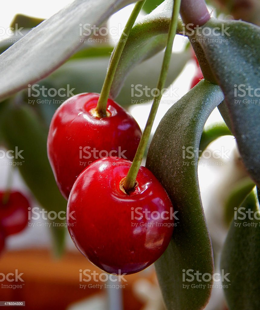 Juicy ?herry fruits on the tree branch stock photo