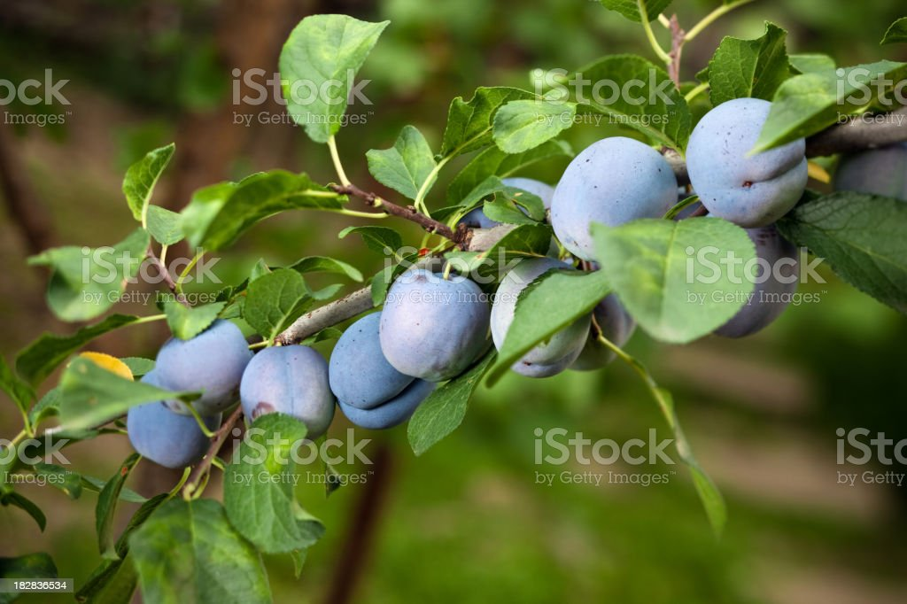 Juicy plums growing on a tree  stock photo