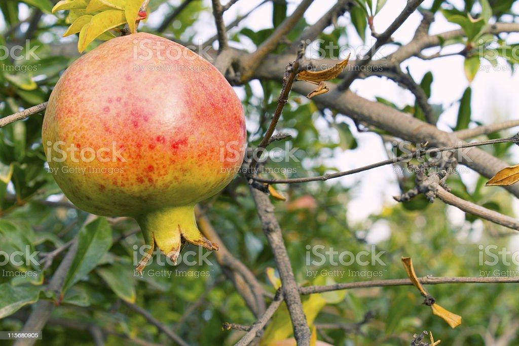 Juicy pomegranate on the tree stock photo