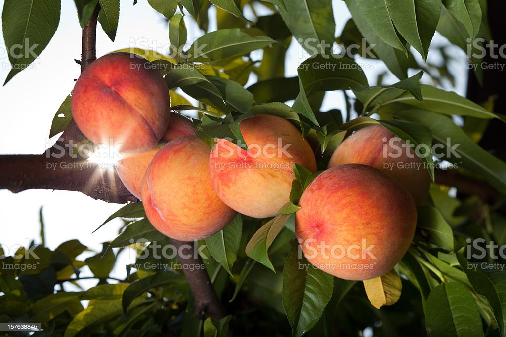 Juicy red peaches ripen on the tree royalty-free stock photo