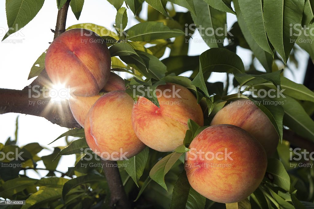 Juicy red peaches ripen on the tree stock photo