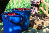 Juicy ripe cherries in a basket