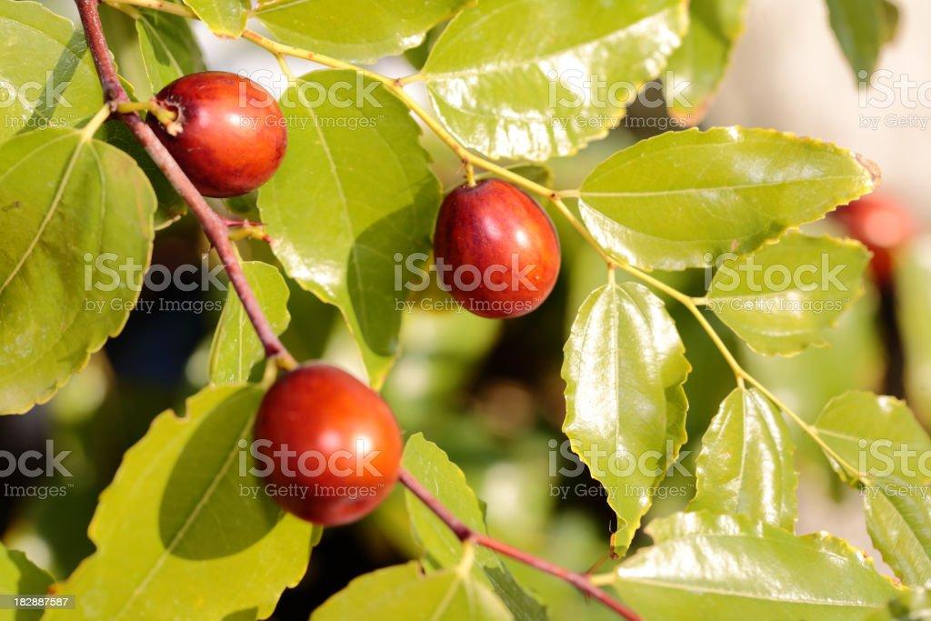 Jujube tree stock photo