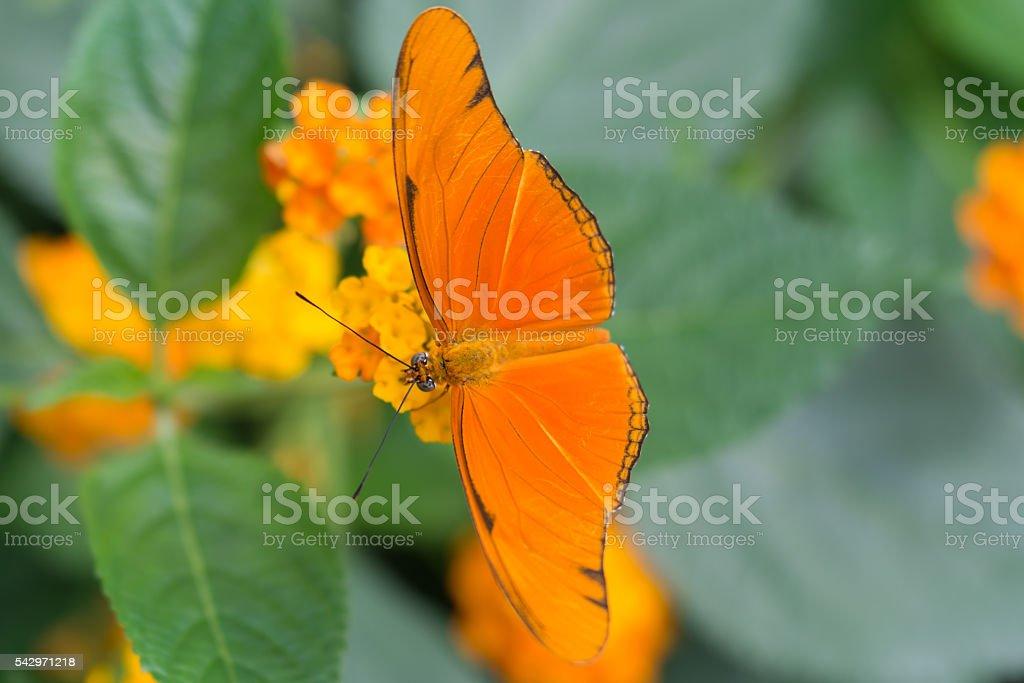 Julia Butterfly closeup stock photo