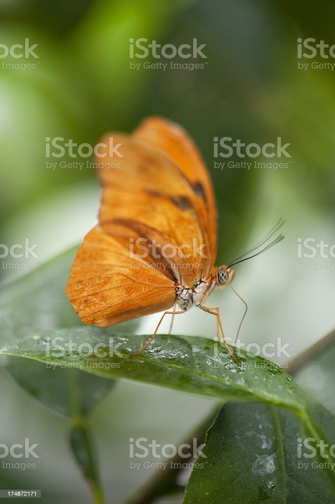 Julia butterfly drinking water from leaf stock photo