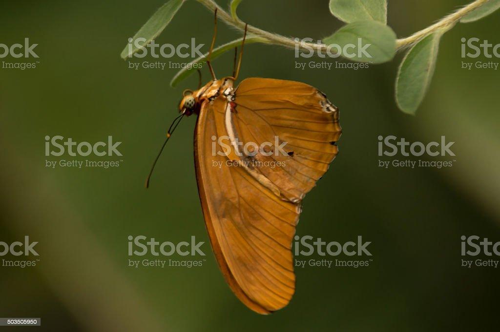 Julia Butterfly Dryas iulia stock photo