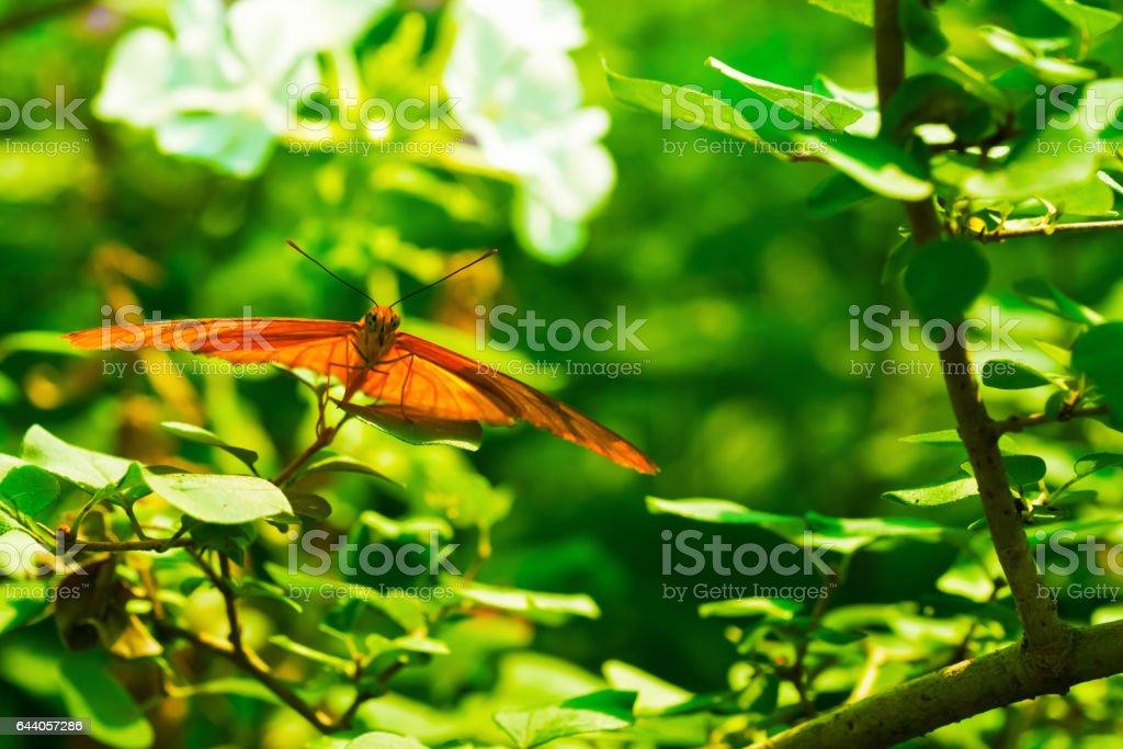 Julia Butterfly in the Sun stock photo