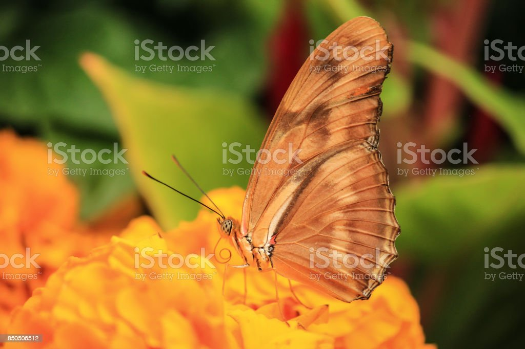 Julia butterfly on a flowerbed stock photo