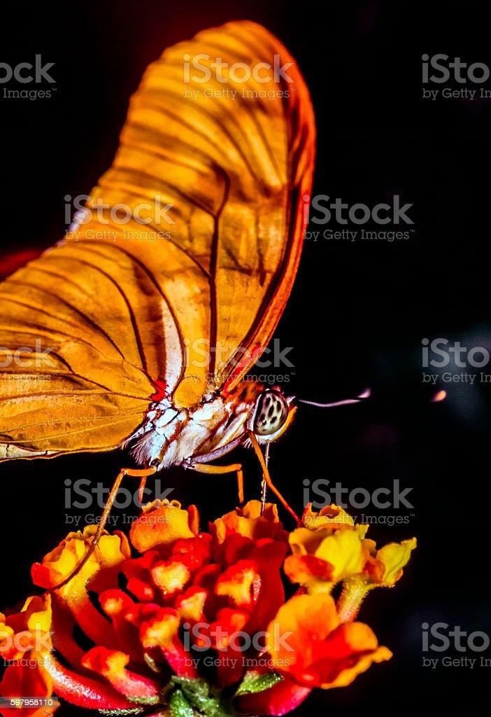 Julia butterfly on flower stock photo