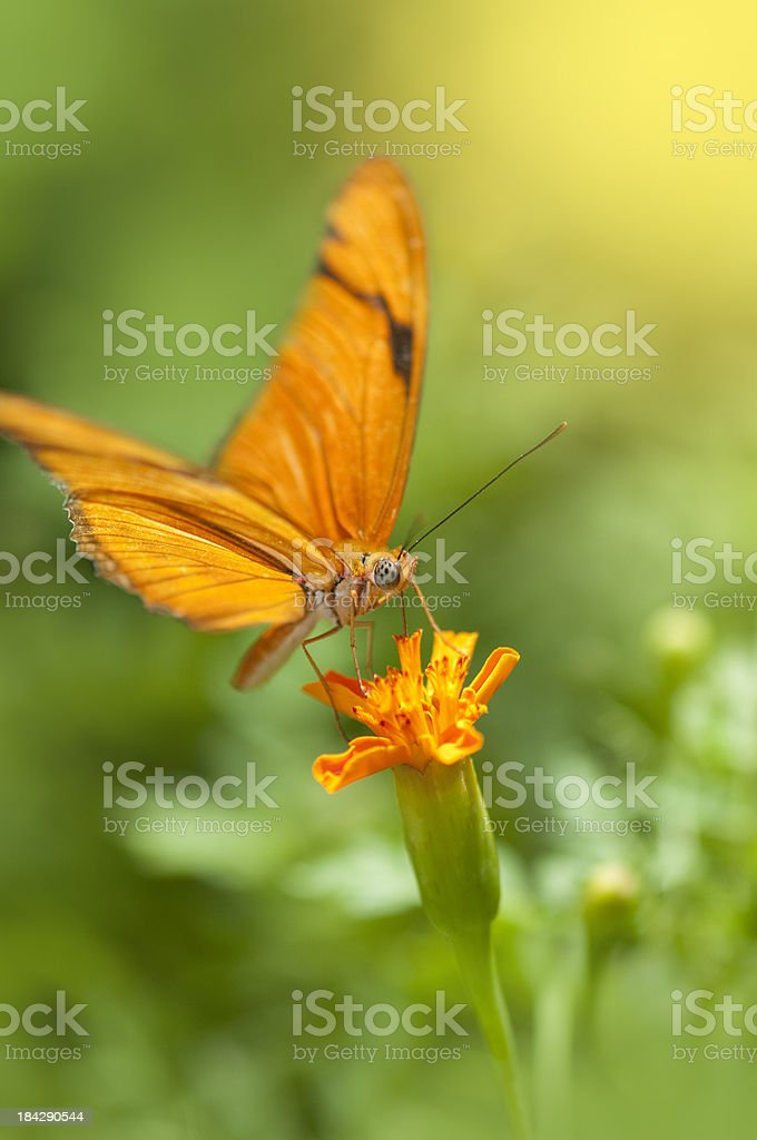 Julia butterfly on yellow marigold stock photo