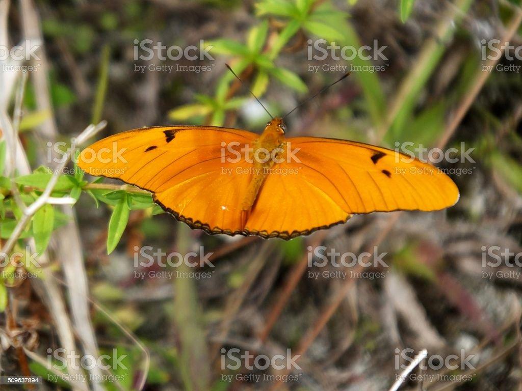 Julia Butterfly (Dryas iulia) stock photo