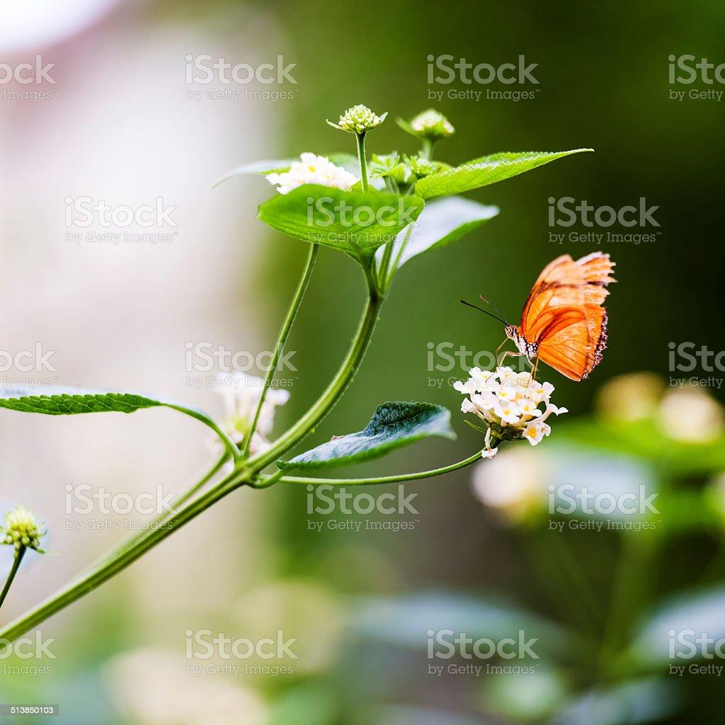 Julia Butterfly stock photo