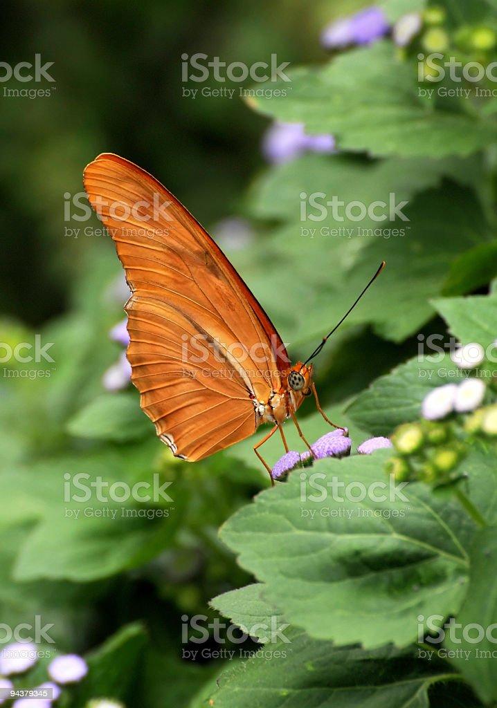 Julia butterfly (Dryas Iulia Moderata) stock photo