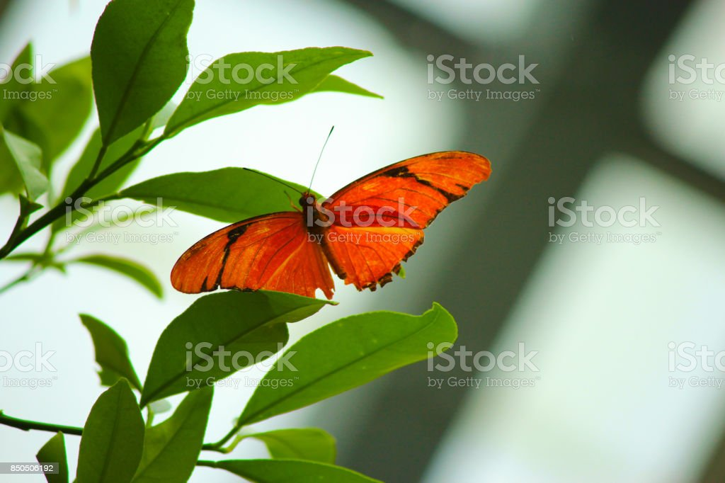 Julia Butterfly resting on a leaf stock photo