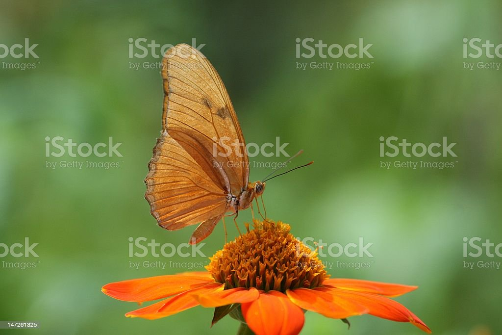 Julia Halicone butterfly stock photo