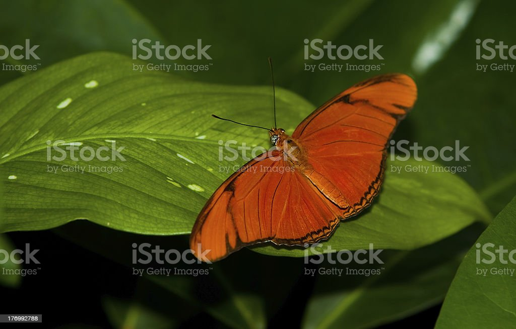 Julia Longwing Butterfly stock photo