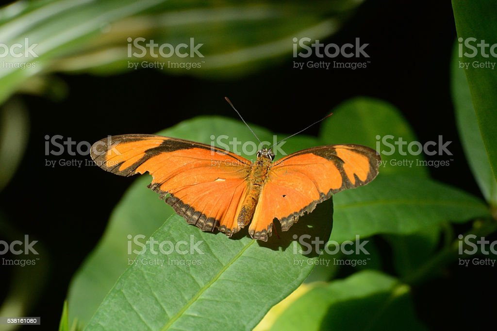 Julia or Flambeau Butterfly (Dryas Iulia) stock photo