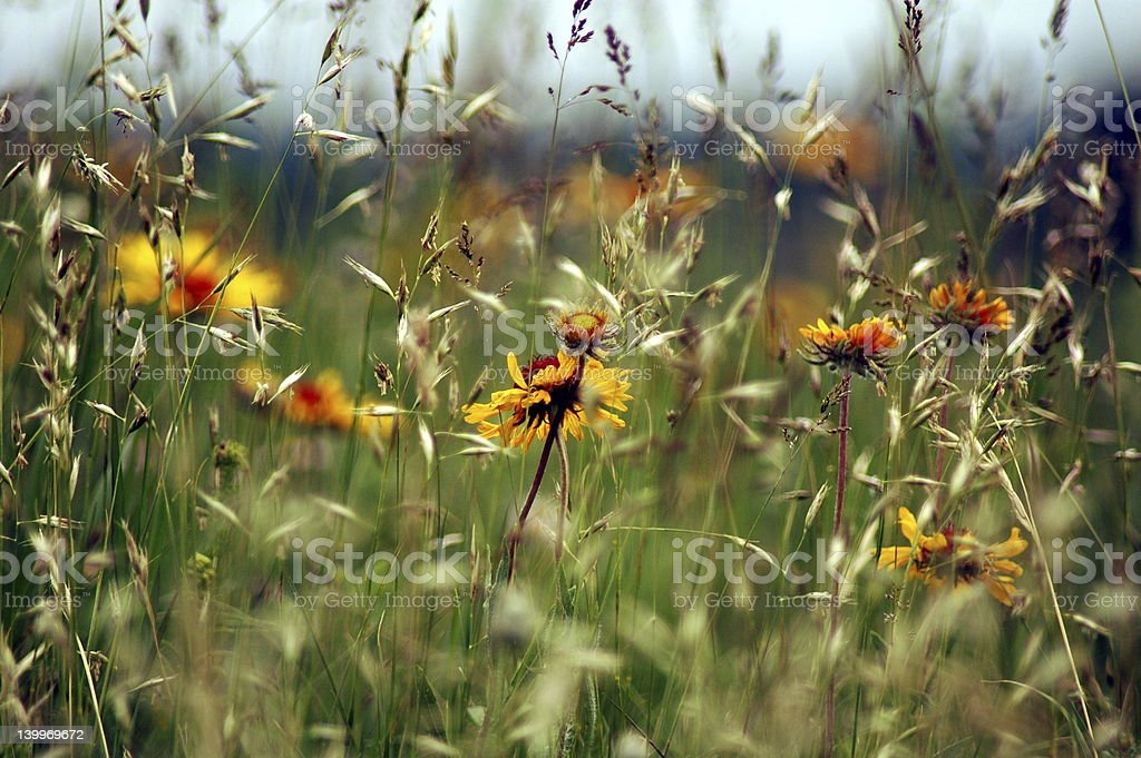 July's Wildflowers royalty-free stock photo