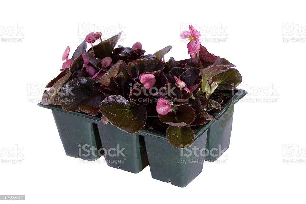 Jumbo 6 Pack Begonias royalty-free stock photo
