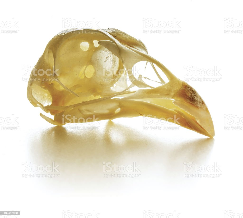 jumbo pheasant skull stock photo