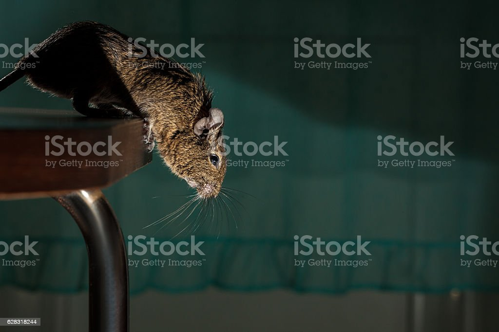 jump rodent stock photo
