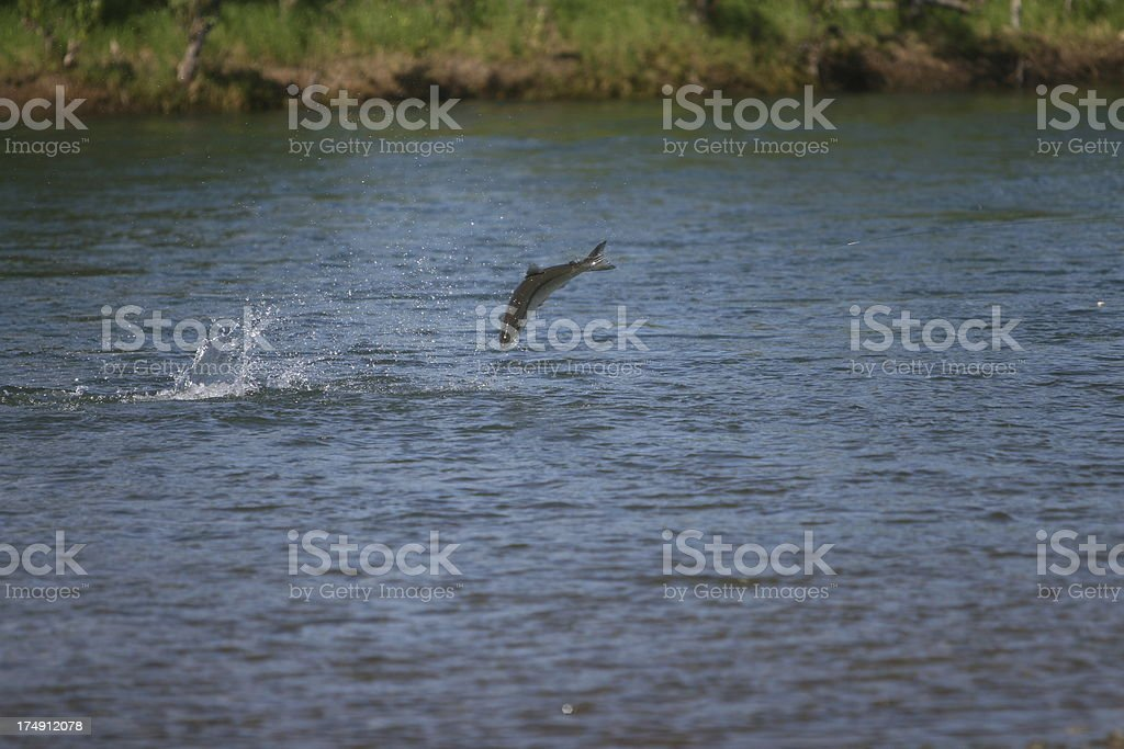 Jumping Alaska Salmon stock photo