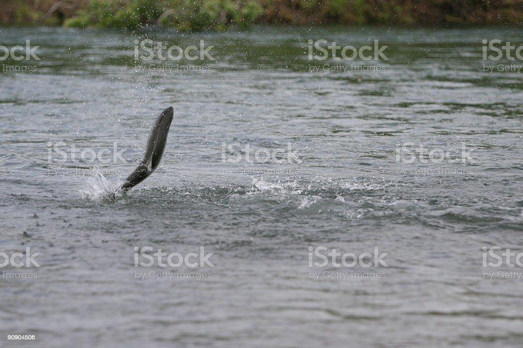Jumping Alaska Sockeye Salmon stock photo