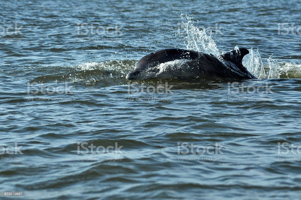 Jumping and swimming dolphins in the Danube delta stock photo