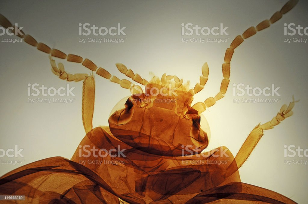 jumping beetle, Altica species, micrograph royalty-free stock photo