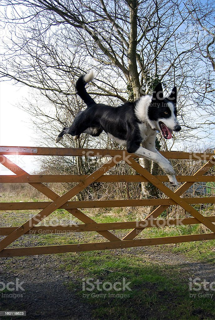 Jumping Border Collie royalty-free stock photo