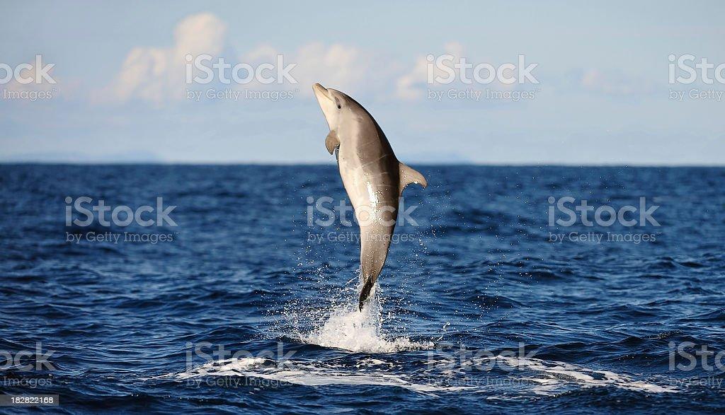 jumping bottlenose dolphin stock photo