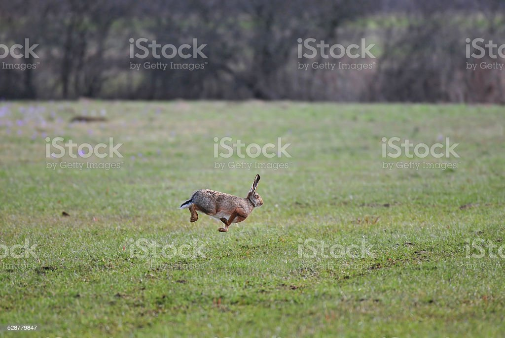 Jumping brown hare stock photo