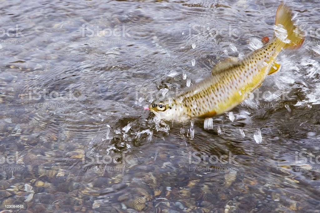 Jumping Brown Trout royalty-free stock photo