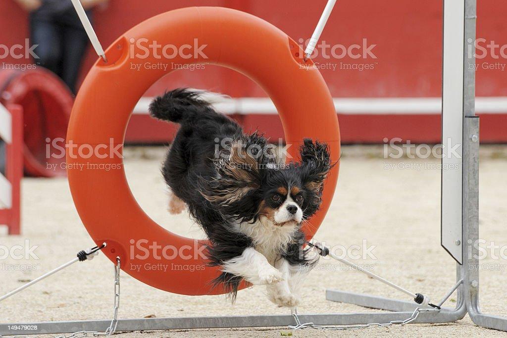 jumping cavalier king charles stock photo