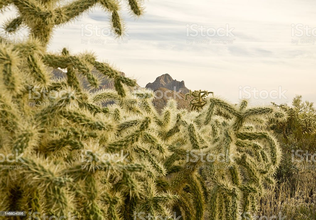 Jumping Cholla (Cylindropuntia fulgida) Cactus royalty-free stock photo