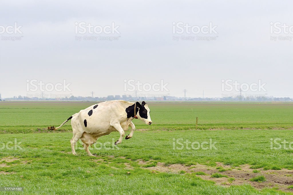 jumping cow in meadow stock photo