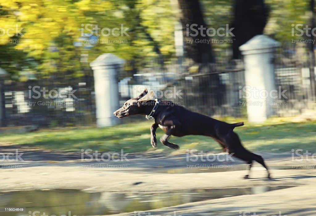 Jumping dog royalty-free stock photo