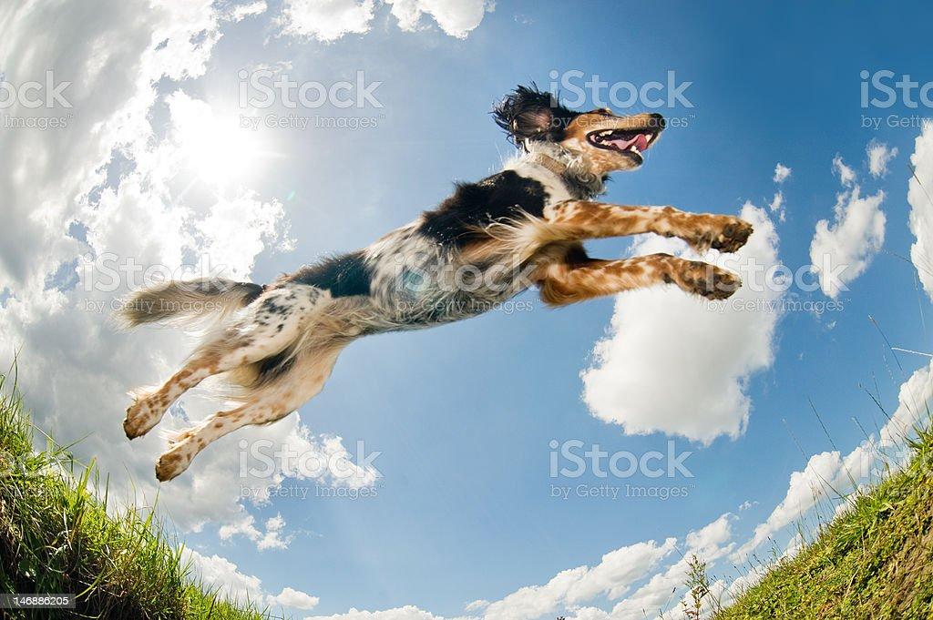 Jumping dog                                  (© Lobke Peers) stock photo