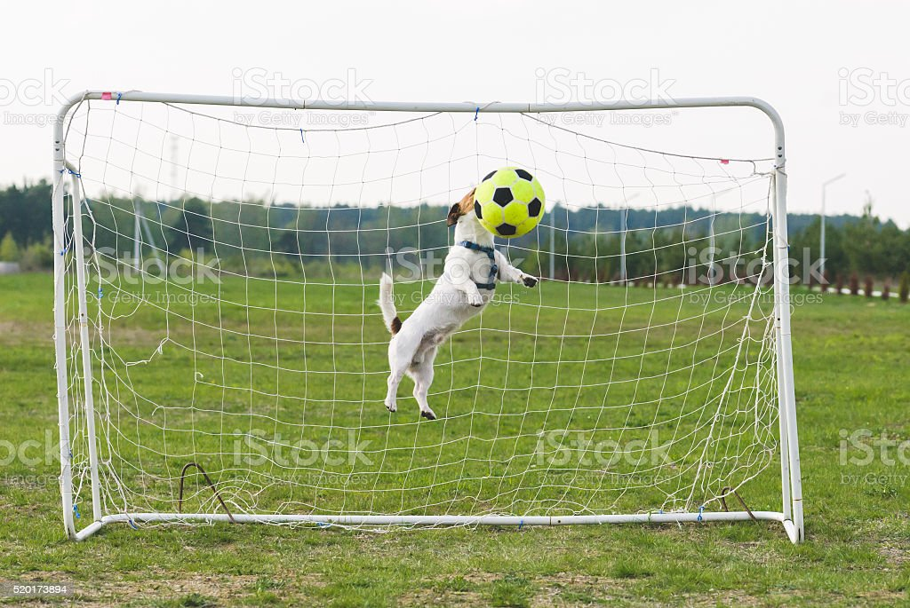 Jumping Dog strikes football ball by head stock photo